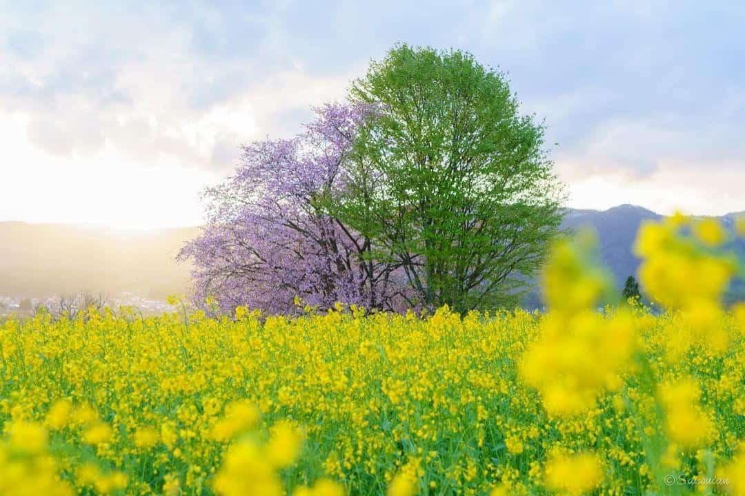 Cánh đồng bông cải vàng, dấu hiệu mùa xuân ở bán đảo Atsumi Nhật Bản